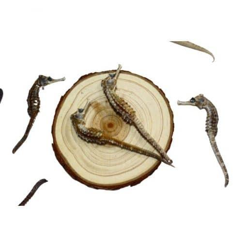 1 con Cá ngựa khô kích thước 6 - 8 cm